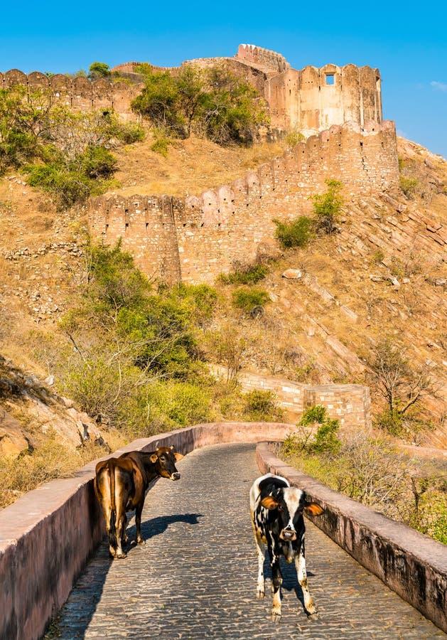 在路的牛向从斋浦尔-拉贾斯坦,印度的Nahargarh堡垒 免版税图库摄影