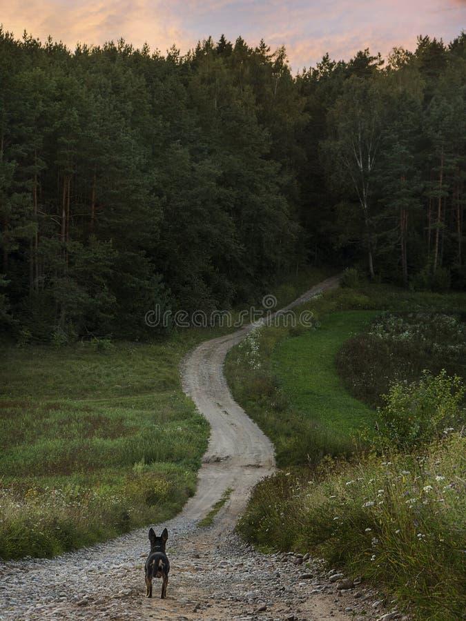 在路的狗对森林 免版税库存照片