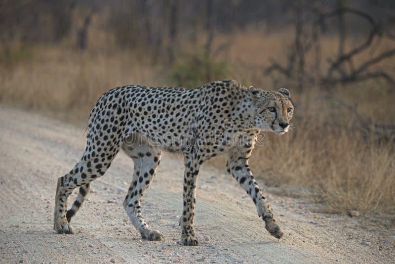 在路的猎豹 免版税库存照片
