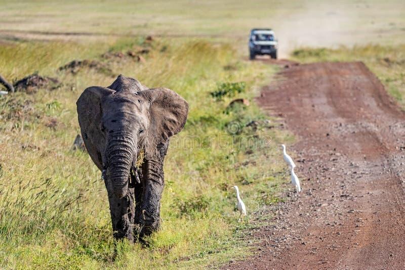 在路的边的大象小牛有徒步旅行队的Vehiclee 免版税库存图片