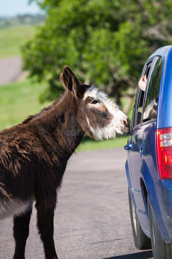 在路的野生驮货驴子 免版税图库摄影