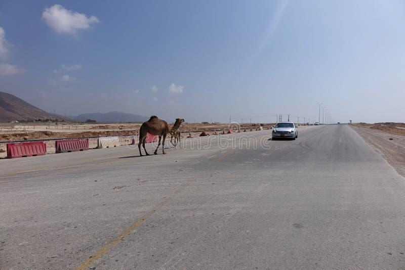 在路的骆驼在塞拉莱,阿曼附近 免版税库存图片