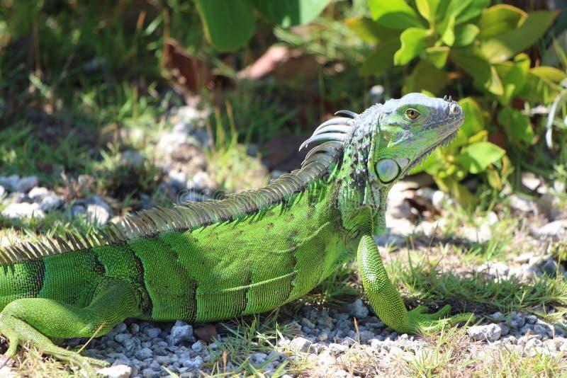在路的鬣鳞蜥有微笑的 库存图片