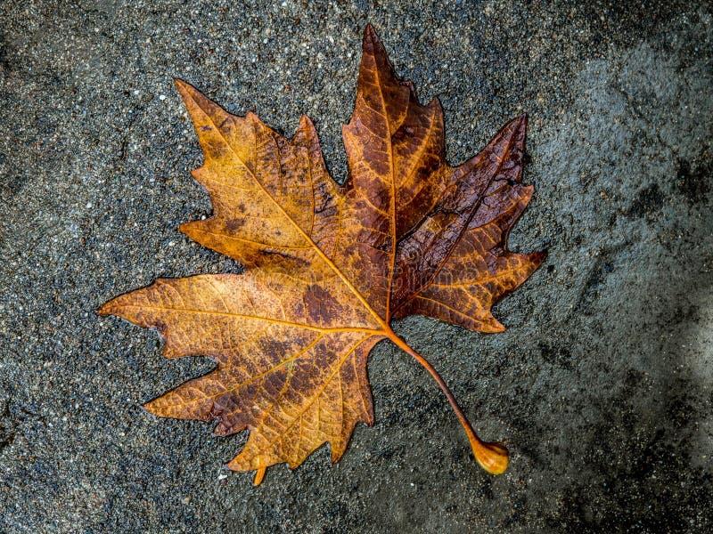 在路的黄色叶子在秋天 库存图片