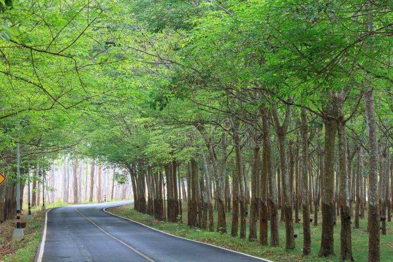 在路的绿色橡胶树隧道 免版税库存照片