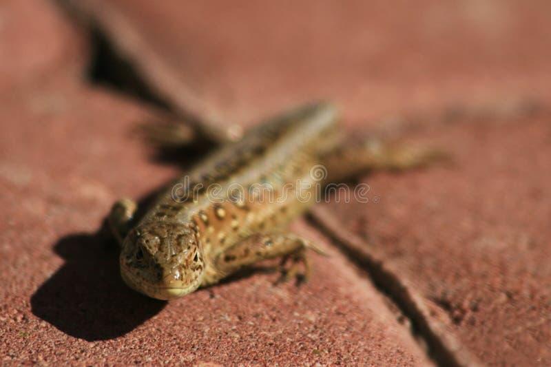 在路面的蜥蜴 免版税图库摄影