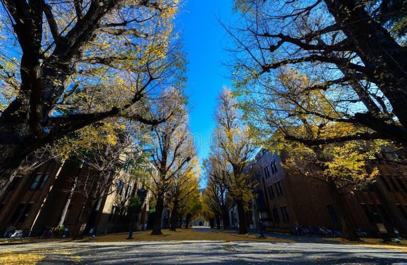 在路,秋天季节的银杏树树 免版税图库摄影