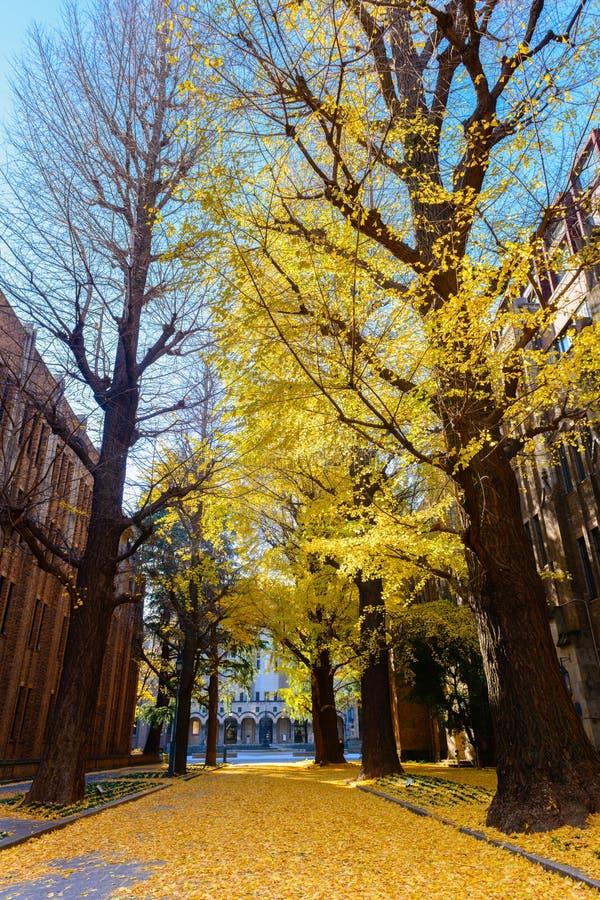 在路,秋天季节的银杏树树 免版税库存照片