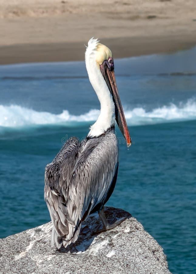 在跳船岩石栖息的鹈鹕俯视海滩 库存图片