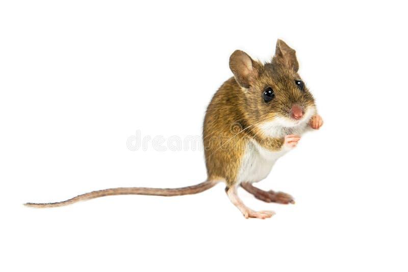 在跳跃的白色背景的老鼠 免版税图库摄影