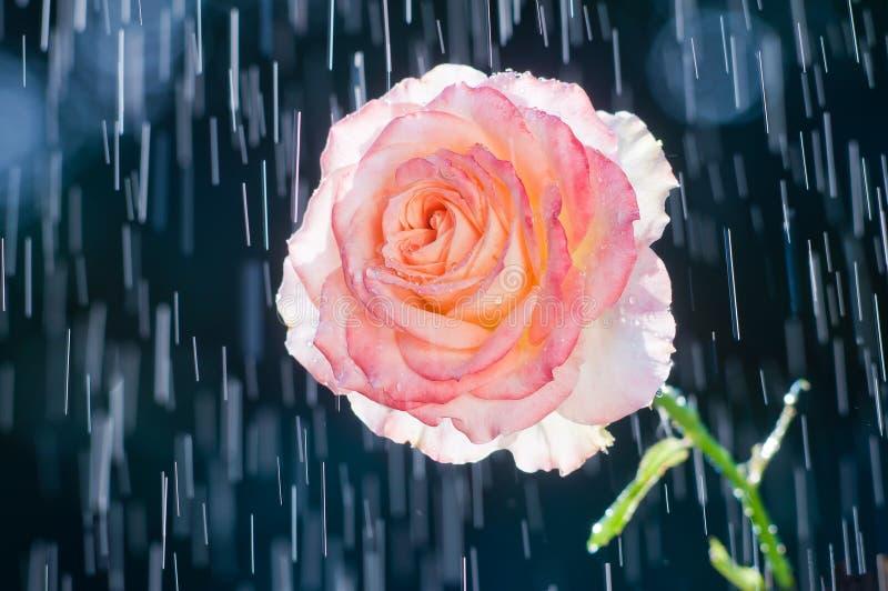 在轨道背景的浅粉红色的玫瑰从雨下落的 免版税库存照片