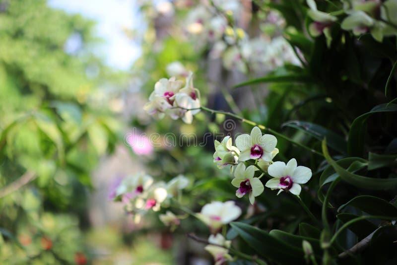 在转折季节,绿色叶子背景期间的淡色白色兰花花 免版税库存图片
