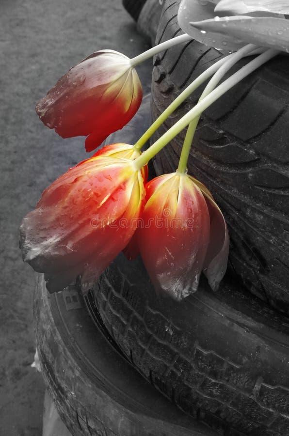 在轮胎的红色郁金香 免版税库存图片