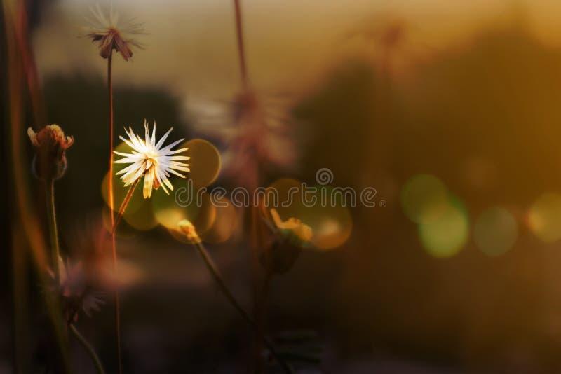 在软的心情的白色草花在太阳集合光和bokeh中 库存照片