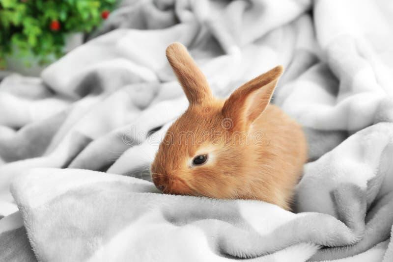 在软的格子花呢披肩的逗人喜爱的蓬松兔宝宝在家 免版税库存照片
