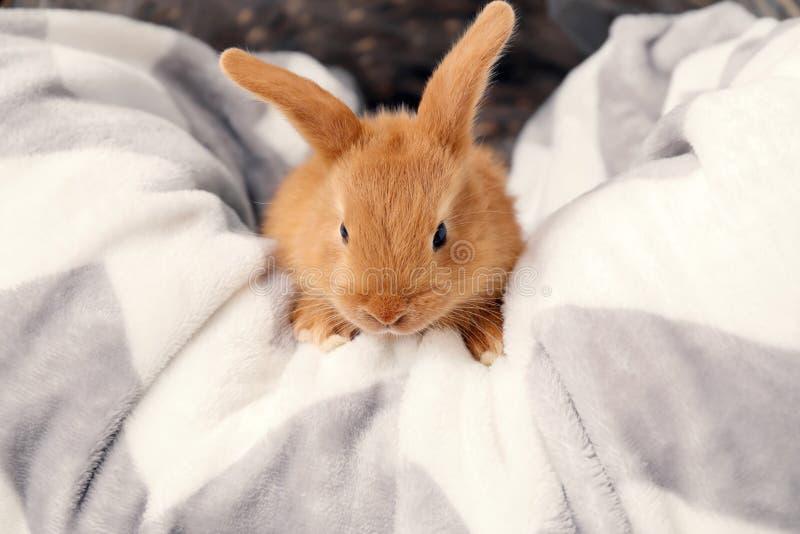 在软的格子花呢披肩的逗人喜爱的蓬松兔宝宝在篮子 库存照片