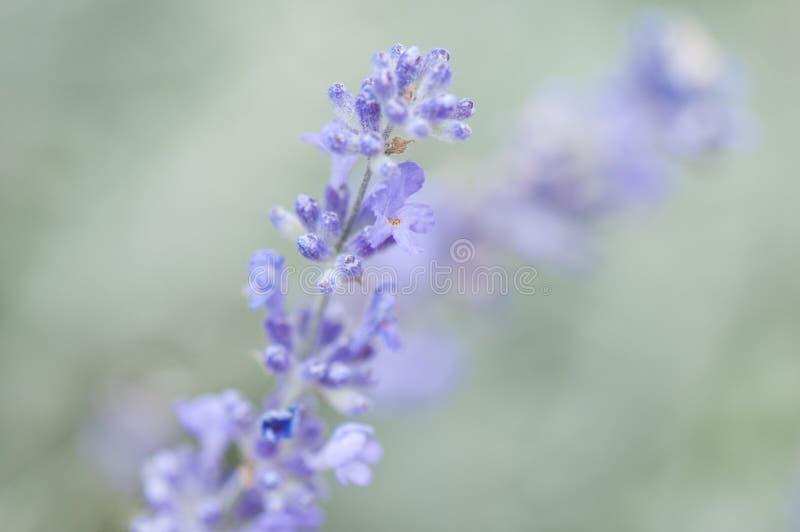 在软的绿色背景的淡紫色花 免版税库存照片