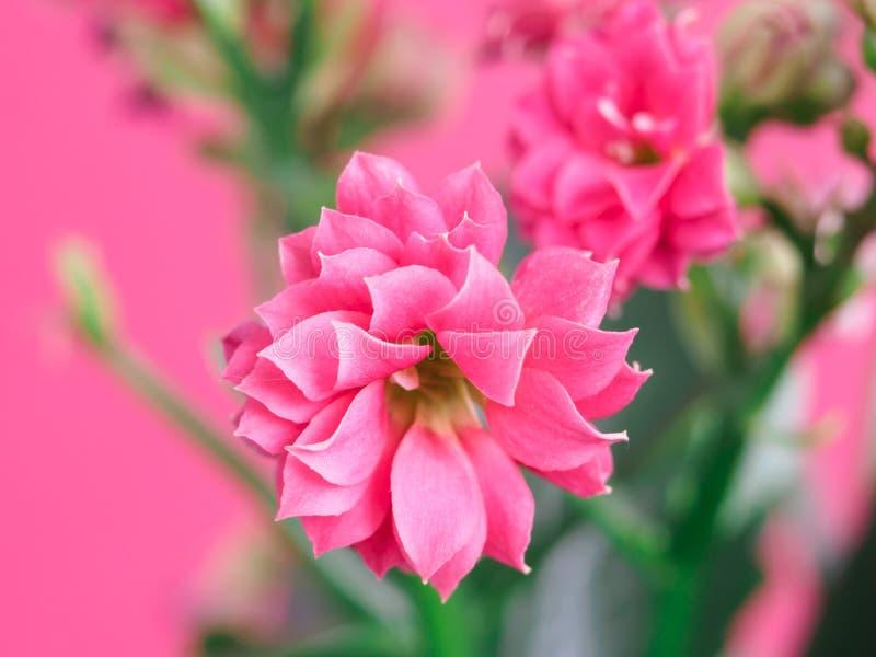 在软的背景的美丽的桃红色玫瑰 库存照片