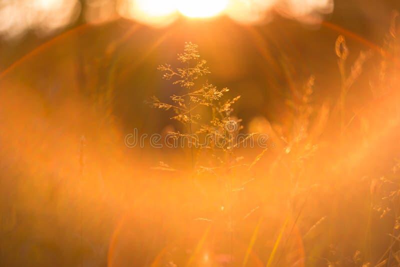 在软的阳光和太阳下的日落草发出光线 图库摄影