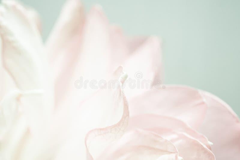 在软的颜色和迷离样式的甜颜色莲花瓣 免版税库存图片