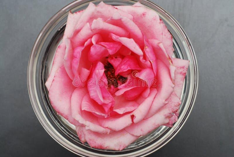 在软的颜色的桃红色罗斯花,选择聚焦、温泉和秀丽概念染黑背景拷贝空间 桃红色花 免版税库存图片