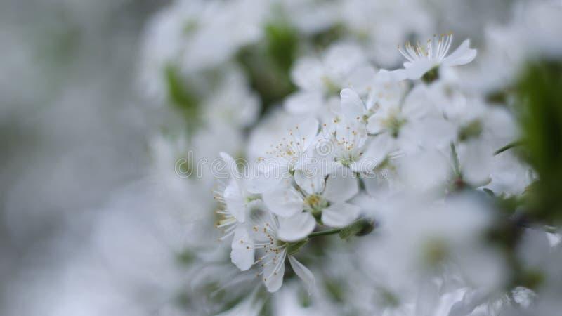 在软软地被弄脏的背景的樱花分支 免版税库存图片