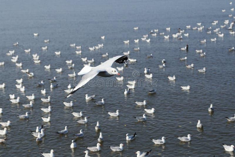 在轰隆Pu海滩的海鸥飞行 库存图片