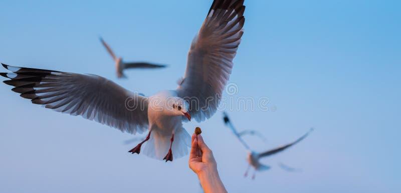 在轰隆Pu,泰国的手哺养的海鸥 库存照片