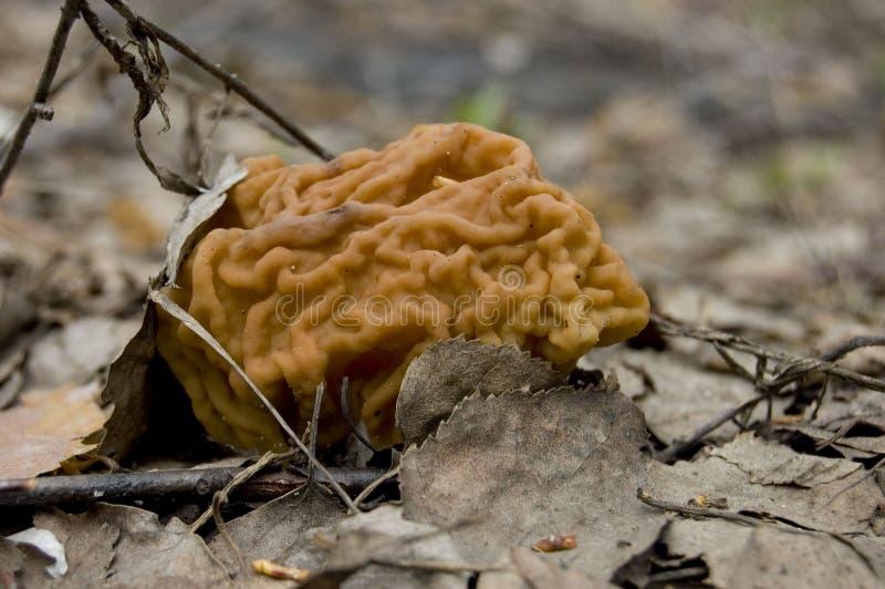 在轻的步行的春天蘑菇在森林里 免版税库存照片