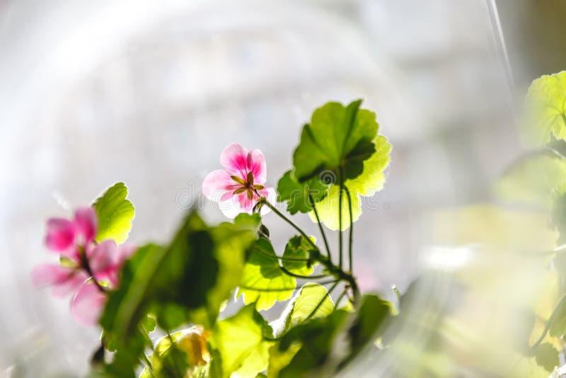 在轻的背景的桃红色大竺葵天竺葵花在创造性的迷离 免版税库存照片