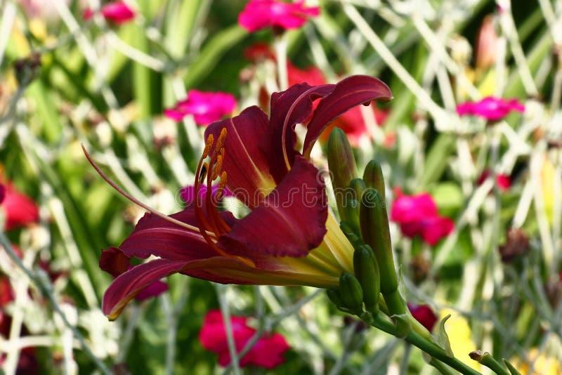 在轻的背景的黑暗的萱草属植物 库存图片