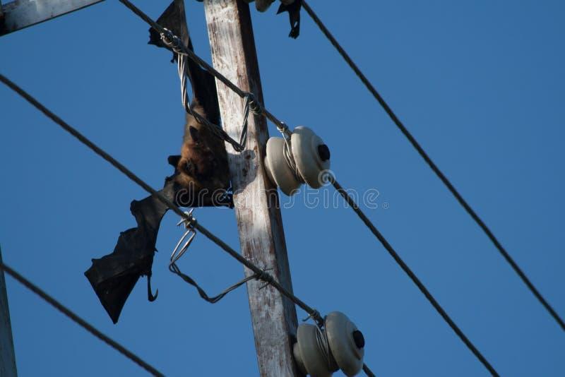 在载电线困住的被触电致死的和死的果实蝙蝠 库存照片