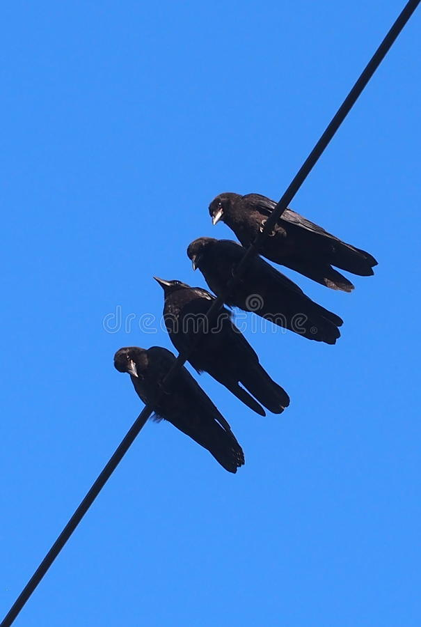 在输电线的乌鸦 库存照片