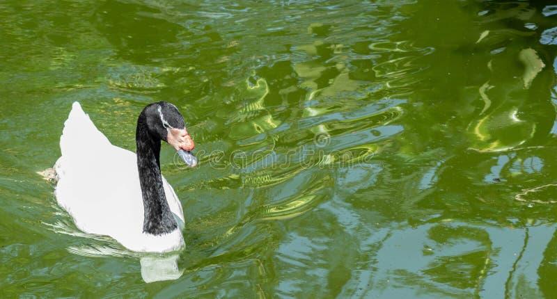 在边外形上的黑收缩的天鹅游泳 免版税库存图片