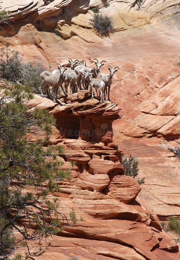 在边缘的大角羊 库存图片