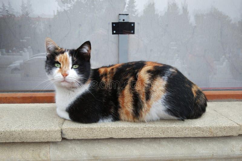 在边路的三色猫 免版税库存图片