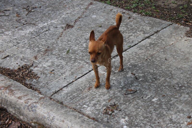 在边路的布朗狗 图库摄影