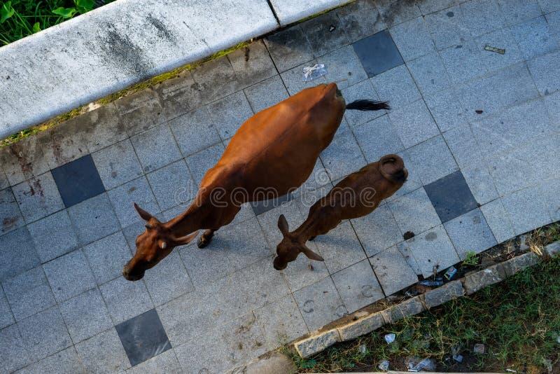 在边路的母牛 库存照片