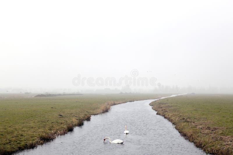 在运河的两只白色天鹅在荷兰 库存图片