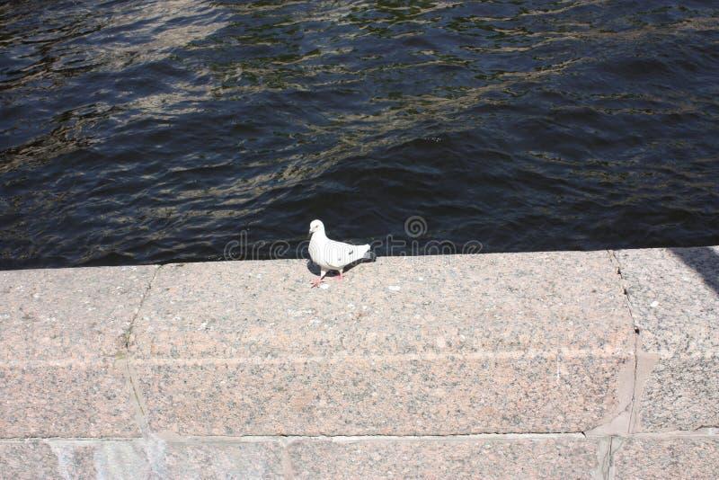 在运河的花岗岩篱芭的白色鸠在彼得斯堡 免版税库存图片