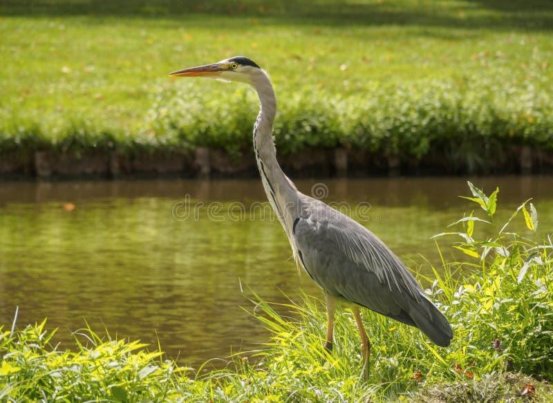 在运河银行的一只美丽的大苍鹭鸟绿草的在一明亮的好日子在弗拉尔丁恩鹿特丹,N荷兰镇  免版税图库摄影