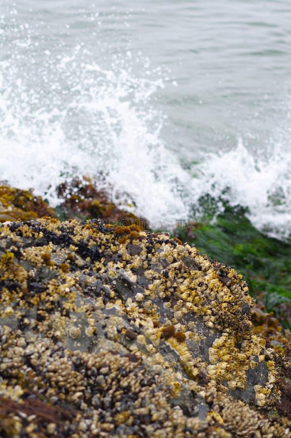 在近岩石的海草与水碰撞 库存照片