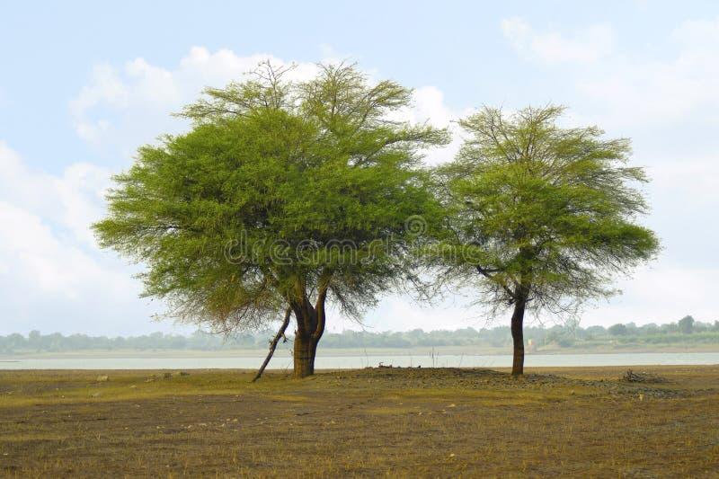 在近岸的两棵树改变方向水坝,马哈拉施特拉 免版税图库摄影