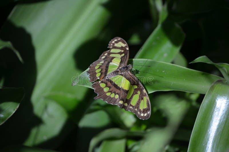在这只绿沸铜蝴蝶的惊人的翼展本质上 免版税图库摄影