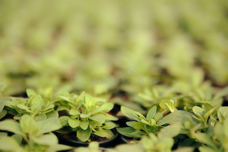 在进展的生长前的绿色喇叭花自温室 免版税库存图片