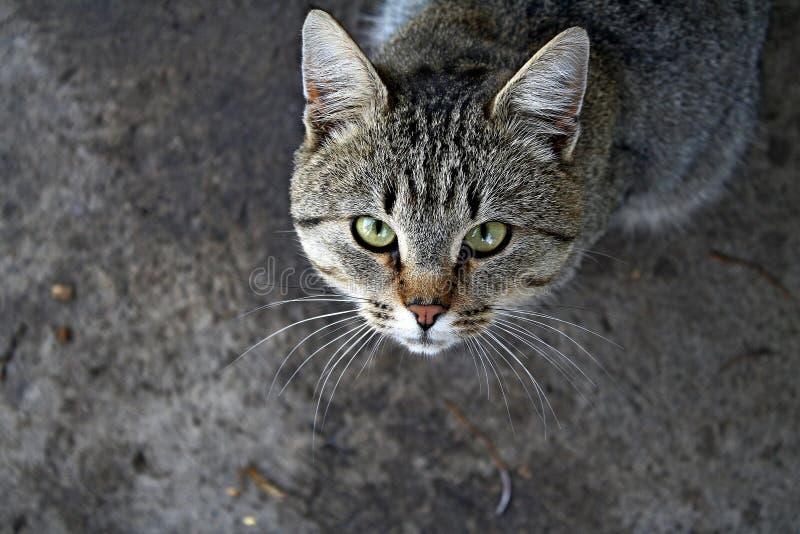 在进攻位置的猫 图库摄影