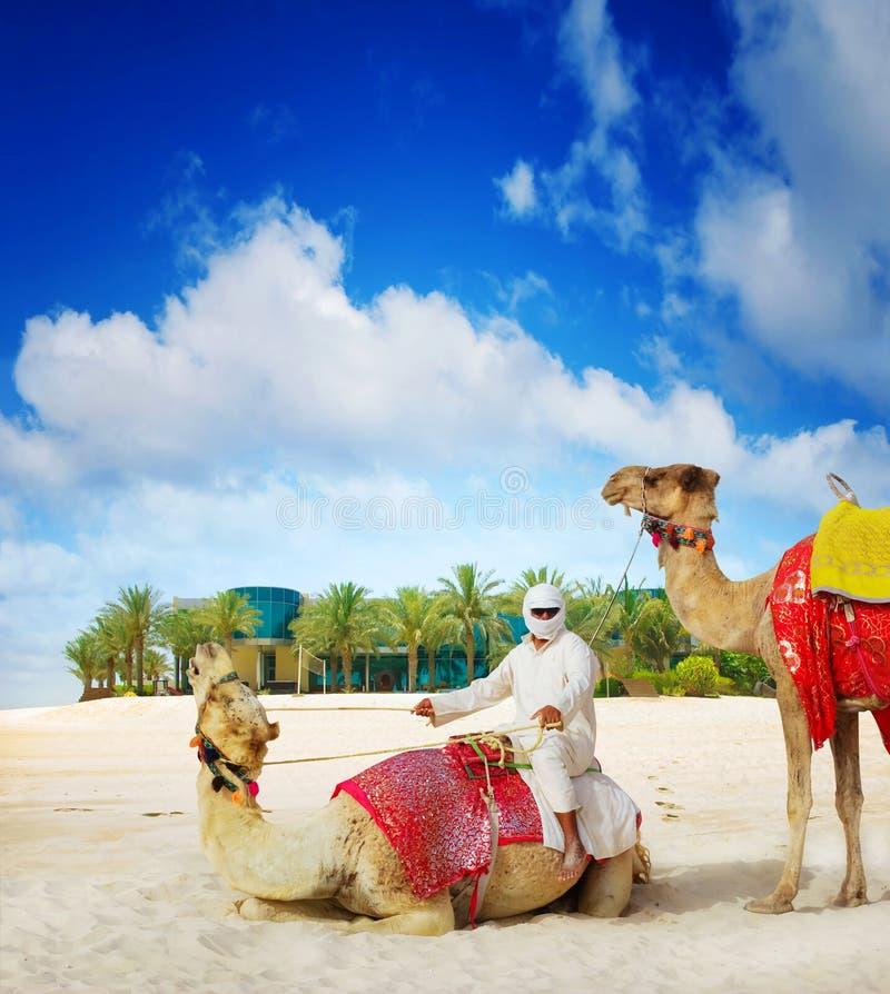在迪拜海岛海滩的骆驼 库存照片