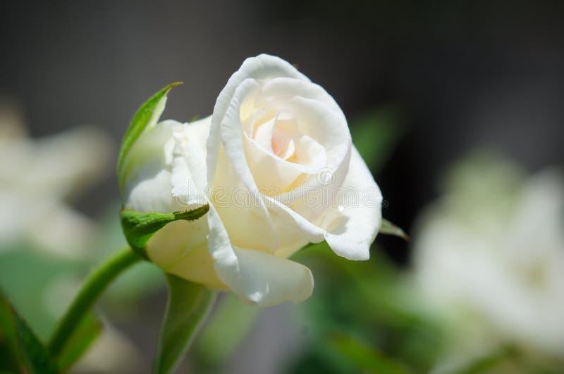 在迷离背景的白色玫瑰 免版税库存照片