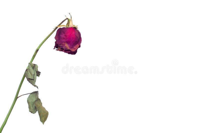 在退色的在人的感觉和在女孩的无能和寒冷的一个白色背景概念的一朵退色的玫瑰色花在爱的 免版税库存照片