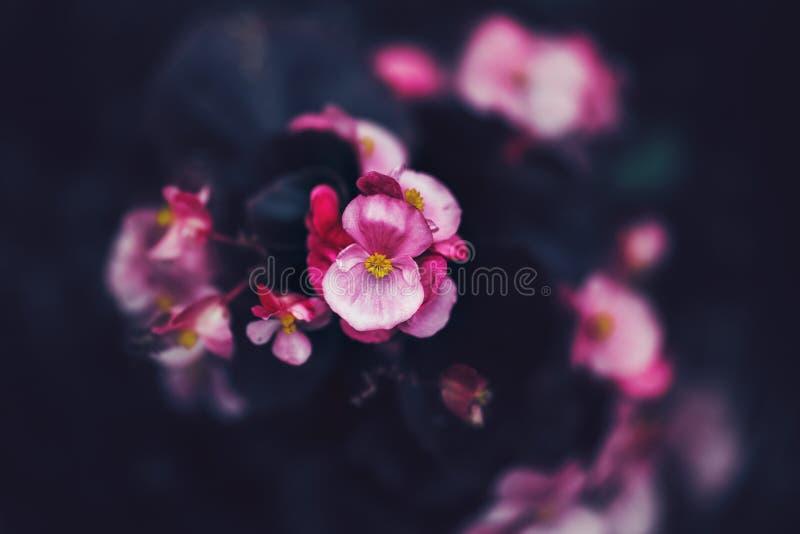 在退色的模糊的背景的神仙的梦想的不可思议的桃红色紫色花,定调子与instagram在与影片e的减速火箭的葡萄酒样式过滤 免版税库存图片
